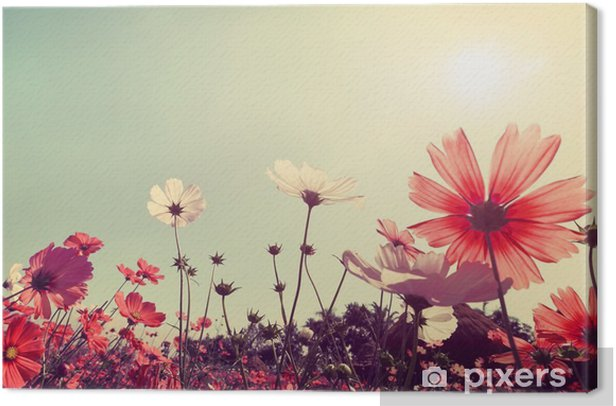 Vintage landscape nature background of beautiful cosmos flower field on sky with sunlight. retro color tone filter effect Canvas Print - Plants and Flowers
