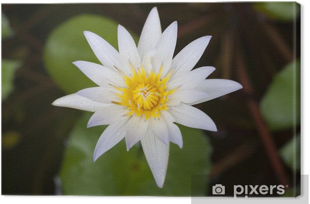 Water lily Canvas Print - Flowers