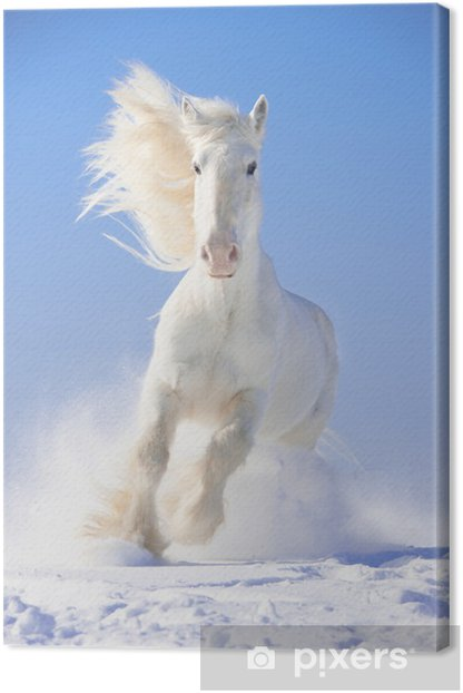 White horse stallion runs gallop in front focus Canvas Print - Themes