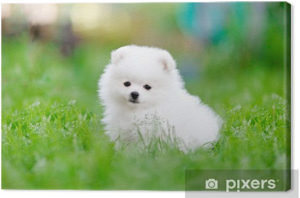 White Pomeranian Spitz Puppy Sitting In
