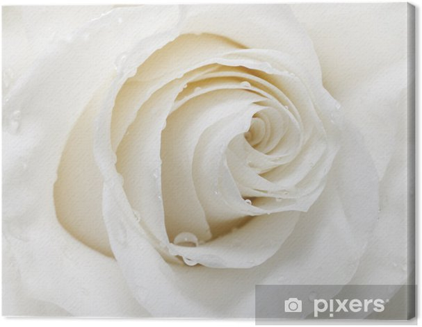 white rose Canvas Print - iStaging
