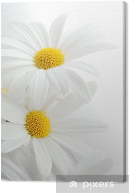 white spring marguerite Canvas Print - Themes