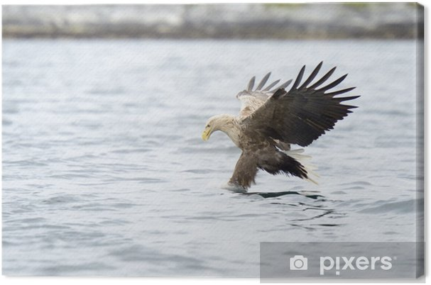White Tailed Eagle Catching Fish Canvas Print Pixers We Live