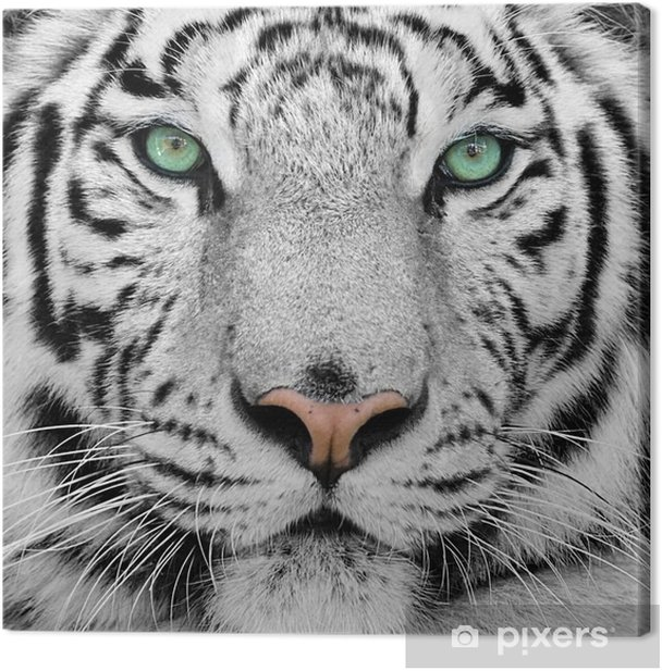white tiger Canvas Print -