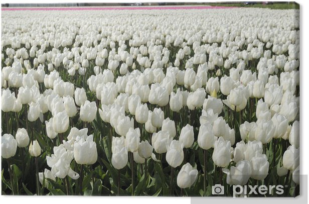 white tuilp field #2, netherlands Canvas Print - Europe