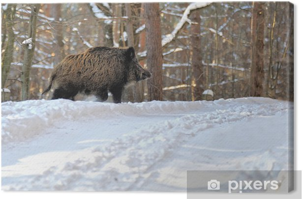 Wild boar Canvas Print - Mammals
