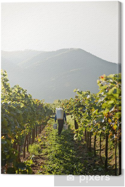Worker in Vineyard Canvas Print - Agriculture