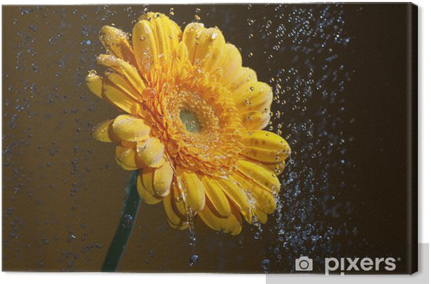 Yellow gerbera. Canvas Print - Flowers