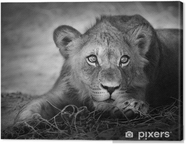 Young lion portrait Canvas Print -