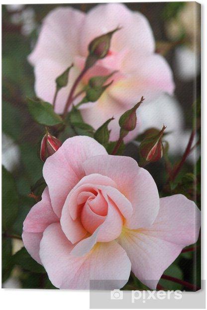 Zart rosa Edelrosen mit Knospen - Hochformat Canvas Print - Happiness