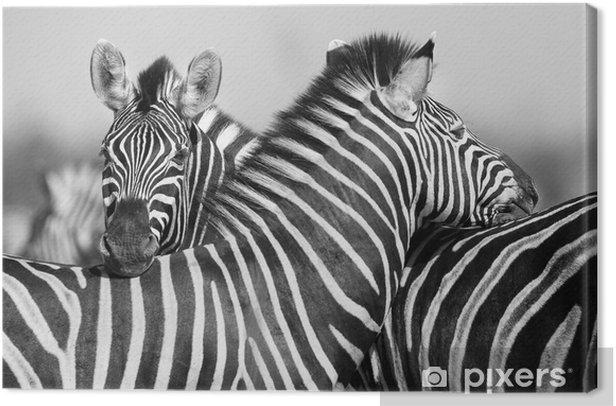 Zebra herd in black and white photo with heads together Canvas Print - Mammals