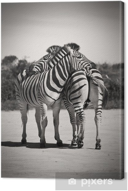 Zebra love Canvas Print - Zebras