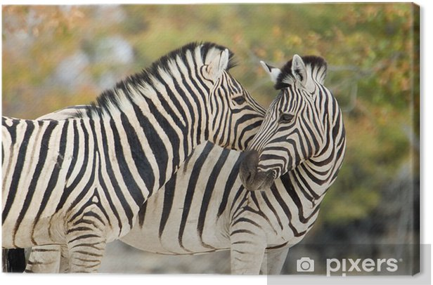 zebras in tenderness Canvas Print - Themes
