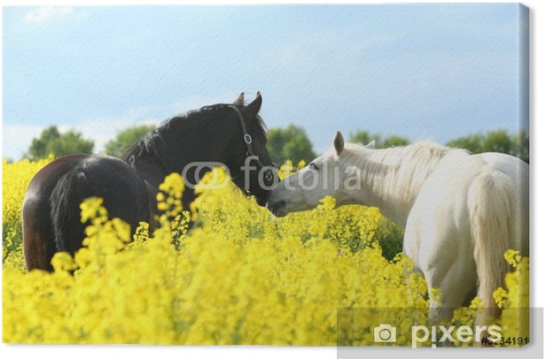 Zwei Pferde im Raps Canvas Print - Mammals