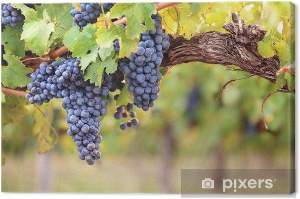 Canvas Rode wijn druiven op oude wijnstokken - Landbouw