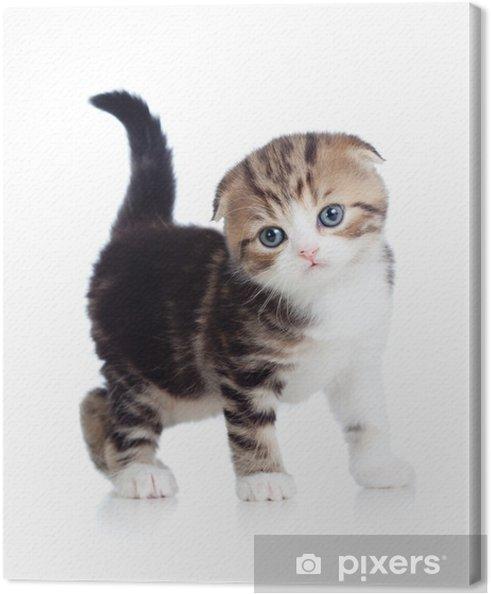Canvas Scottish fold babykat - Zoogdieren