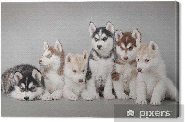 Canvas Siberische Husky hond puppy - Poolhonden