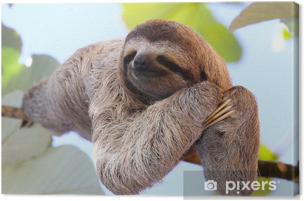 Canvas Sloth - Zoogdieren