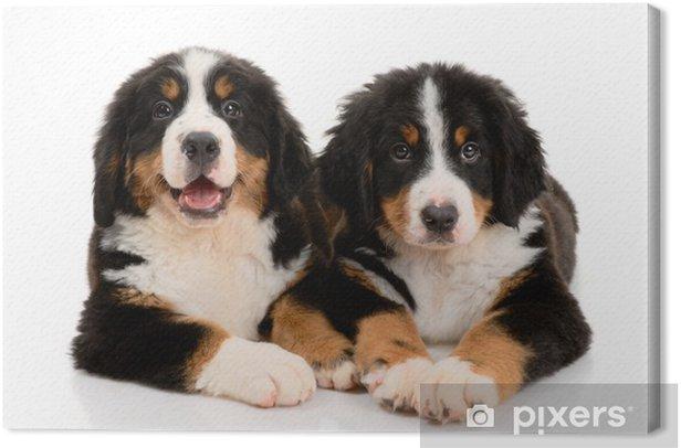 Canvas Twee berner sennenhund puppy op een witte achtergrond - Zoogdieren