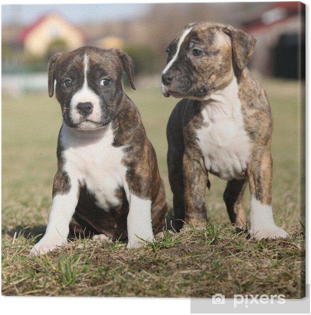 Canvas Twee leuke kleine puppies van American Staffordshire Terrier sa - Zoogdieren