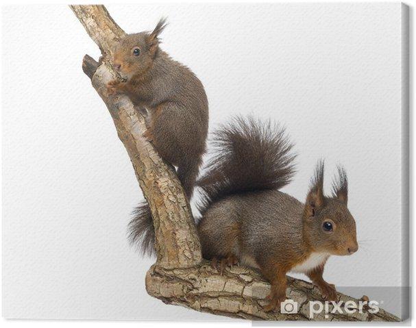 Canvas Twee Rode eekhoorns klimmen op een tak, geïsoleerd op wit - Zoogdieren
