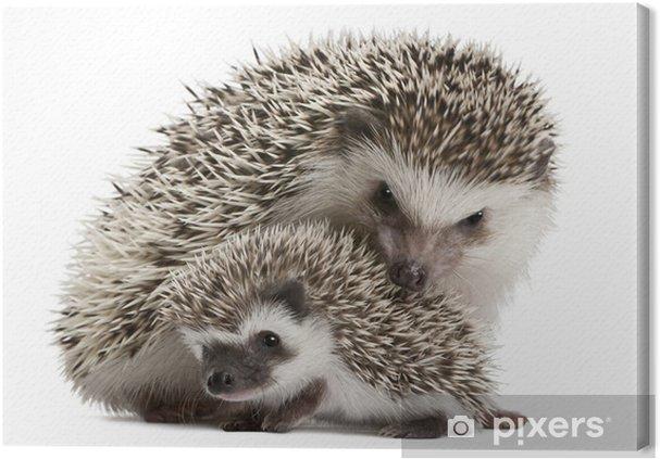 Canvas Vier-toed egels, Atelerix albiventris, 3 weken oud - Zoogdieren