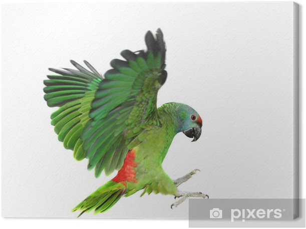 Canvas Vliegende festival Amazon papegaai op de witte achtergrond - Zoogdieren