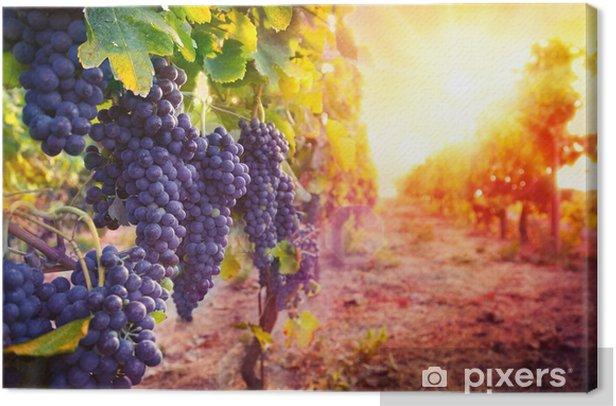 Canvas Wijngaard met rijpe druiven in het platteland bij zonsondergang - Landbouw