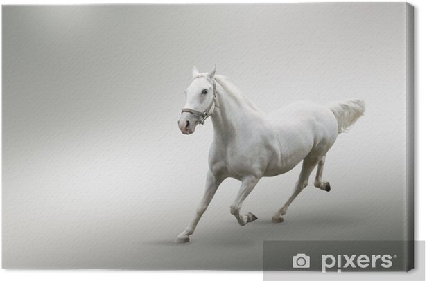 Canvas Wit paard - Zoogdieren