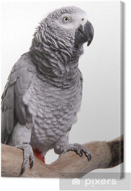 Canvastavla Afrikansk grå cb27e4b98c20a