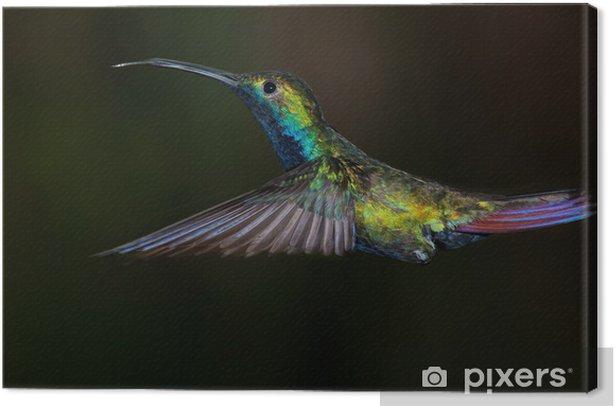Canvastavla Svartstrupig mango kolibri, Anthracothorax nigricollis. - Fåglar