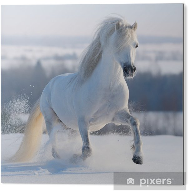 Cuadro en Dibond Galopante caballo blanco - Temas