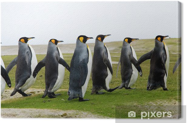Cuadro en Lienzo 8 Rey pingüinos caminando en una línea - Aves