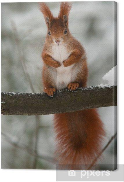 Cuadro en Lienzo Ardilla roja en la rama en invierno mirando al espectador -