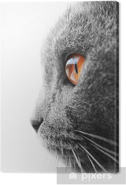 Cuadro en Lienzo Azul británico detalle gato - Temas