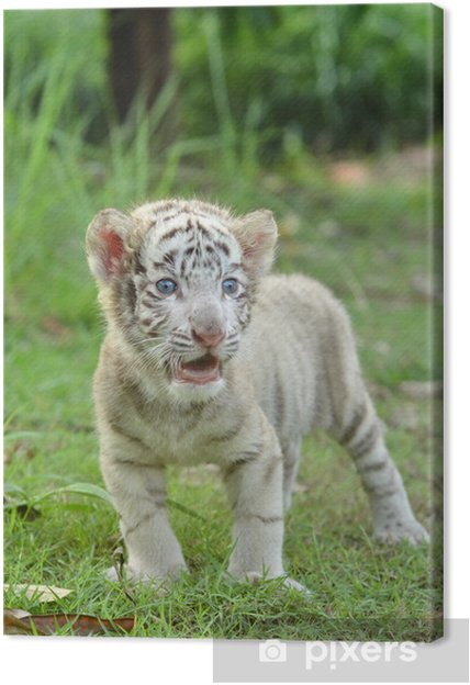 tigre de bengala bebe