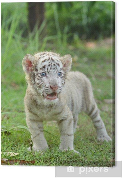 Cuadro en Lienzo Bebé blanco tigre de Bengala - Animales
