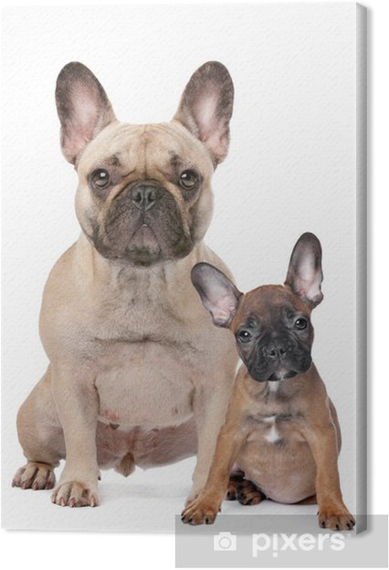Cuadro En Lienzo Bulldog Francés Adulto Y Cachorro Pixers