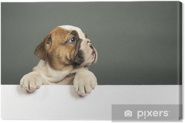 Cuadro en Lienzo Bulldog Inglés cachorro - Mamíferos