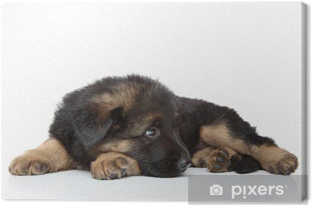 Cuadro en Lienzo Cachorro pastor alemán tumbado • Pixers® - Vivimos ...
