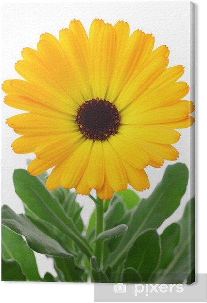 Cuadro en Lienzo Caléndula officinalis - Flores