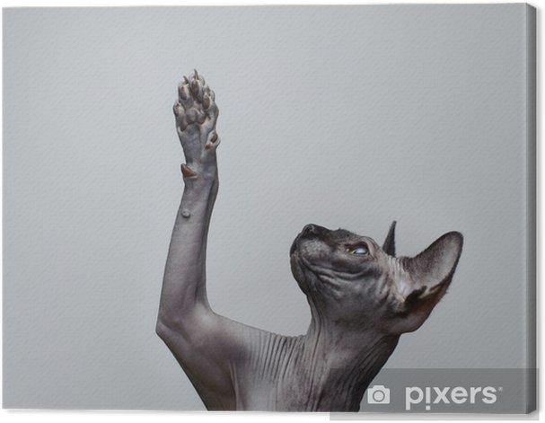 Cuadro en Lienzo Canadian sphynx gato - Temas