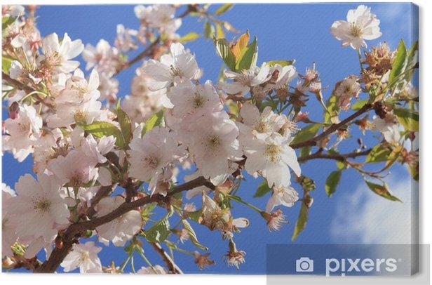 Cuadro en Lienzo Cereza Higan, la floración de cerezo japonés, Prunus subhirtella - Temas