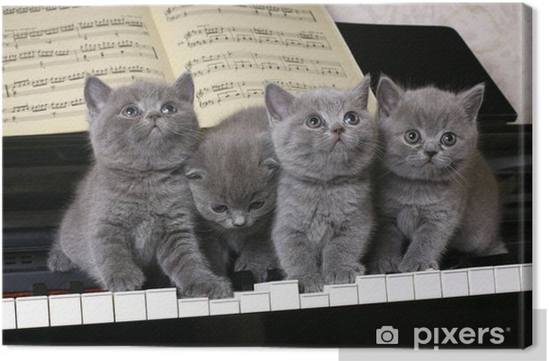 Cuadro en Lienzo Cuatro Gatito británico en el piano - Temas