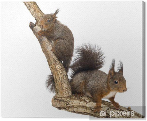 Cuadro en Lienzo Dos ardillas rojas de escalada en una rama, aislado en blanco - Mamíferos
