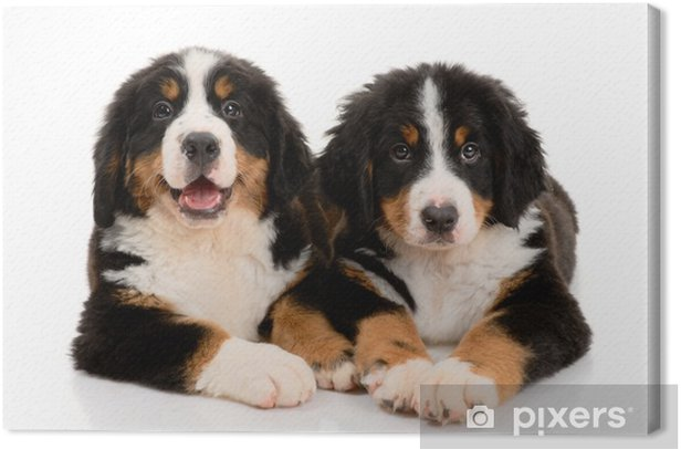 Cuadro en Lienzo Dos cachorro sennenhund Berner sobre un fondo blanco - Mamíferos