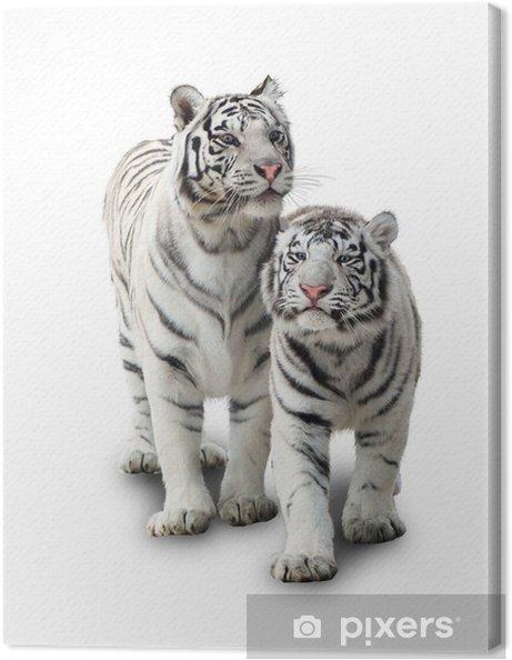 Cuadro en Lienzo Dos tigres blancos - Mamíferos