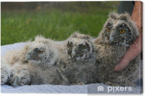 Cuadro en Lienzo Eulenküken - Aves