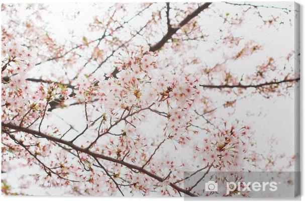 Cuadro en Lienzo Flor de cerezo, sakura, en la primavera de la ...