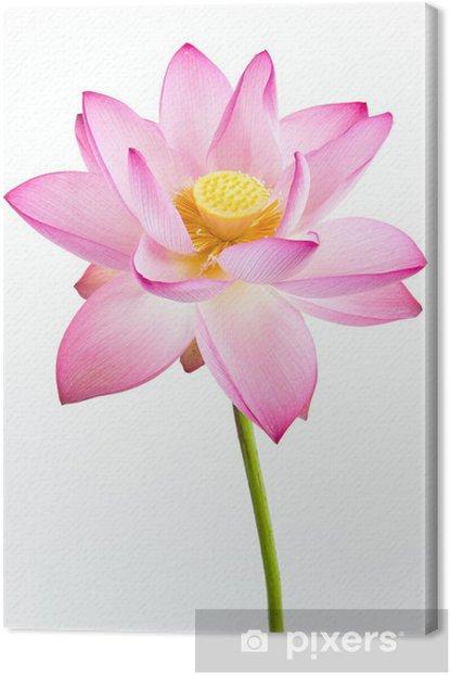 Cuadro en Lienzo Flor rosada del lirio de agua (loto) y el fondo blanco. - Flores